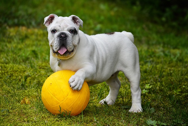 English Bulldog Breeder In Griffin, Georgia