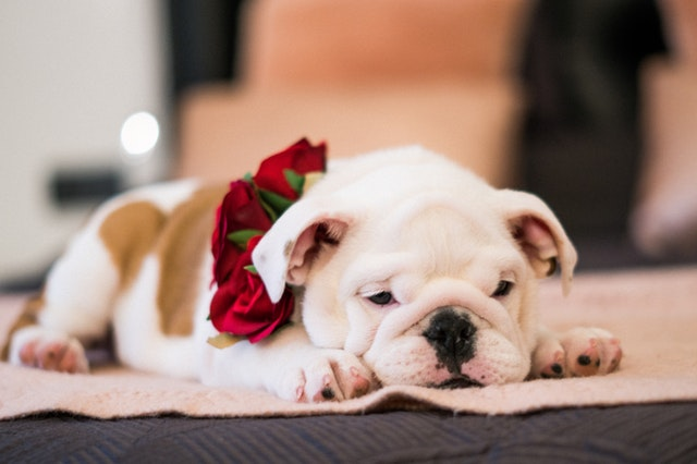 Buying An English Bulldogs