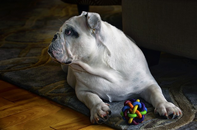 Get Your English Bulldogs Online From a Reputable Organization