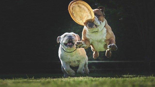 English bulldog puppies for sale GA